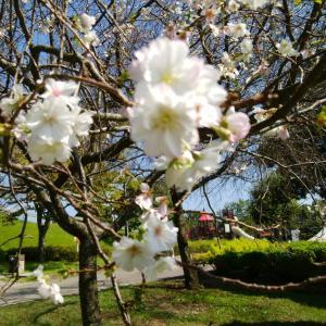 ポプリの小部屋 十月桜