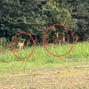 散歩中に鹿が!