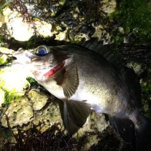 結局メバルは餌とルアーどっちが釣れるの?