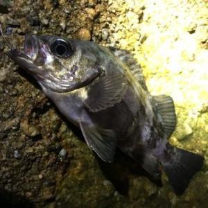 メバルは海面をライトで照らしても釣れる