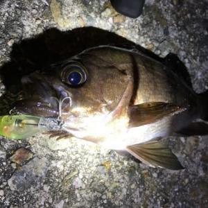 メバルを簡単に釣りたいならプラグがおすすめ!その理由を解説