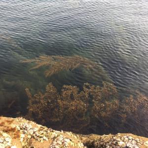 海草の無い磯場にはメバルがいなかった。