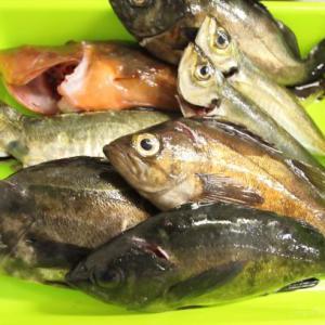 5月22日 瀬戸内海バチパターンメバリング釣行!高級魚もきた!