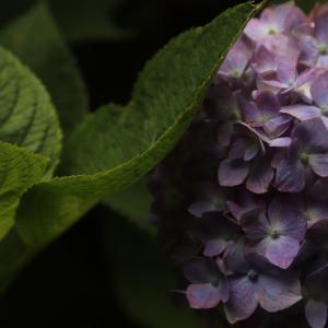 紫陽花狩り