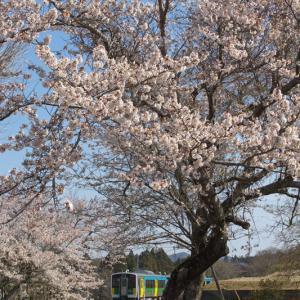 平山 (4)  ~駅前の立派な桜~