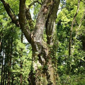 石伏旧若宮八幡神社 (いしぶしきゅうわかみやはちまんじんじゃ)のクリ巨木