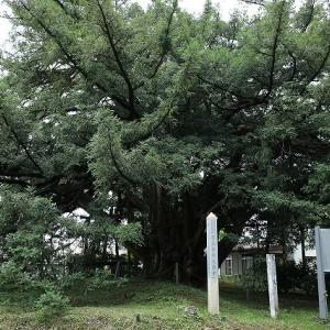東北で一、二を争うカヤ巨木