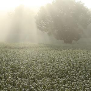 奥会津・高杖高原のソバ畑