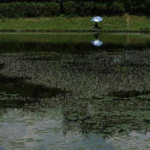 白い星屑・・・・・それは晩夏の沼に咲いていた小さく白い花・羽衣藻