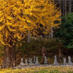 京都・京北 - 慈眼寺の大イチョウ