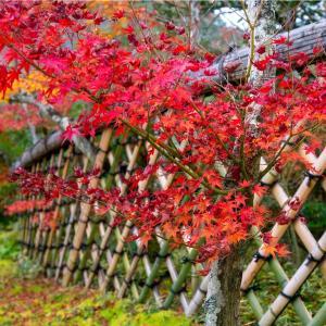 京都・鷹峯 - 光悦寺の紅葉