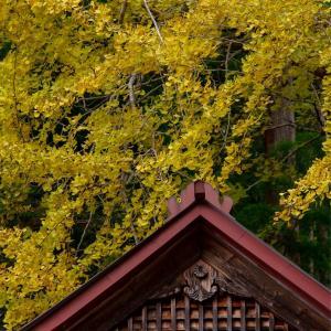京都・京北 - 宇津の八幡宮社の大イチョウ