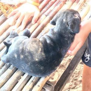 ブラジリアンガードドッグの仔犬…