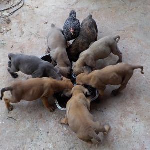 イサーンの田舎での良い犬の躾方を紹介します。