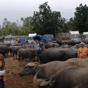 2018 タイ東北部の家畜市場の様子をご覧ください。(水牛編)