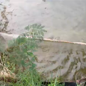 イサーンの田舎のしょぼいティラピア稚魚漁 2016