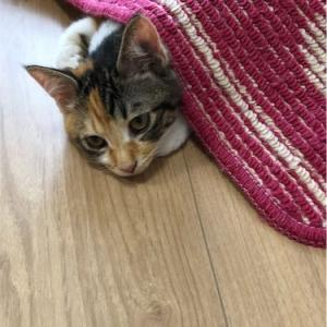 もうすぐ4ヶ月の三毛猫ミケちゃん