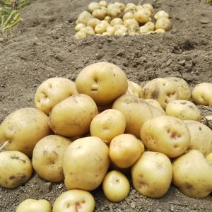 ジャガイモ収穫その壱