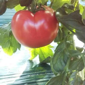 新鮮なトマトのPR