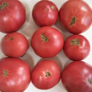 トマトのお尻から甘さを知る方法【後編】