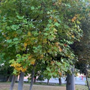 シュナの木