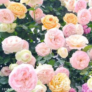 ウェッジウッドブルーの『薔薇(ばら)の花 ブローチ』