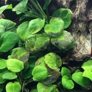 初心者向けであるはずの陰性水草が溶ける原因 原因は水質?対処法は?