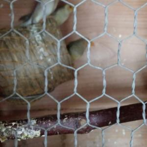 胡錦鳥の巣引き終了