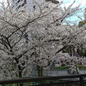 洲崎神社前の桜が綺麗に咲いていました(#^.^#)