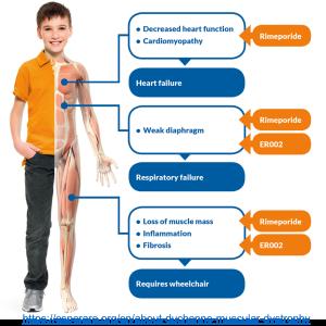 デュシェンヌ型筋ジストロフィーモデルマウスに有酸素運動を行うことで、骨格筋・心筋機能が改善し、アディポネクチンが増加する