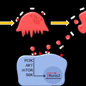 【論文レビュー】破骨細胞由来アポトーシス小体がRANKLリバースシグナリングを介して骨分化を促進する | Mature osteoclast-derived apoptotic bodies promote osteogenic differentiation via RANKL-mediated reverse signaling.