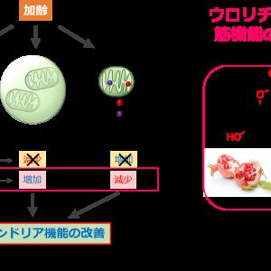 ザクロやベリー類に含まれるエラグ酸の代謝物ウロリチンAは筋機能を増加させる。