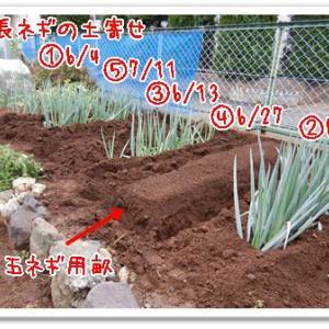 今日の菜園(長ネギ土寄せ)