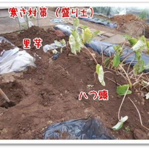 今日の菜園(里芋寒さ対策)