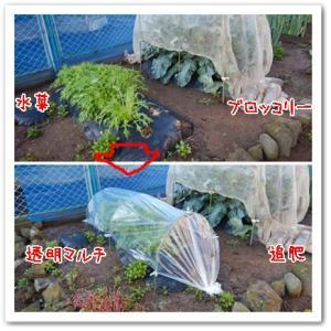 今日の菜園(大根種蒔き)