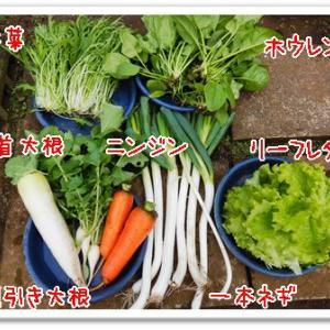 今日の菜園(長ネギ初収穫)