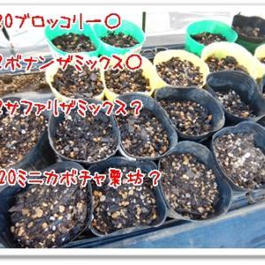 今日の菜園(発芽と収穫)