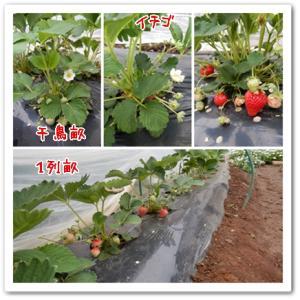 今日の菜園(イチゴの追肥)