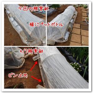 今日の菜園(またネズミ?)