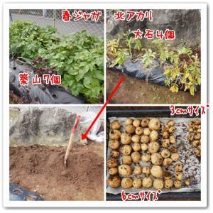 今日の菜園(春ジャガ収穫)