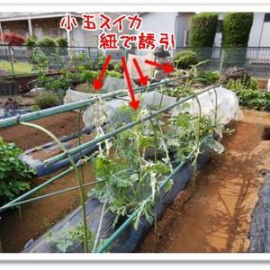 今日の菜園(駆除と殺虫)