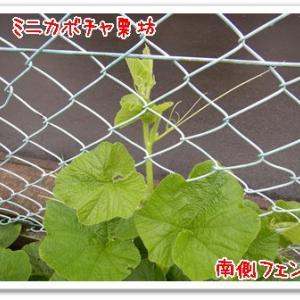 今日の菜園(土砂降り)
