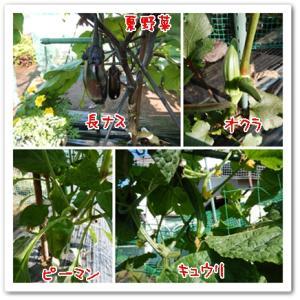 今日の菜園(授粉と初収穫)