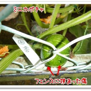今日の菜園(イチゴ苗準備)