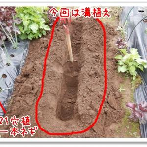 今日の菜園(長ネギの定植)