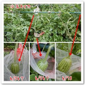 今日の菜園(3個発見!)