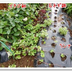 今日の菜園(雑草取り)