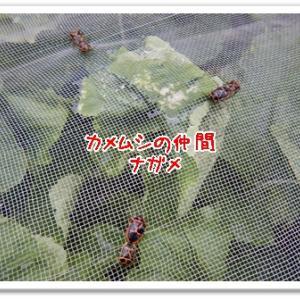 今日の菜園(害虫潰し)