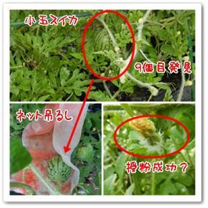 今日の菜園(9個目のスイカ)
