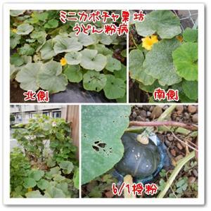 今日の菜園(草引き)